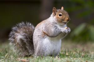 squirrel-01